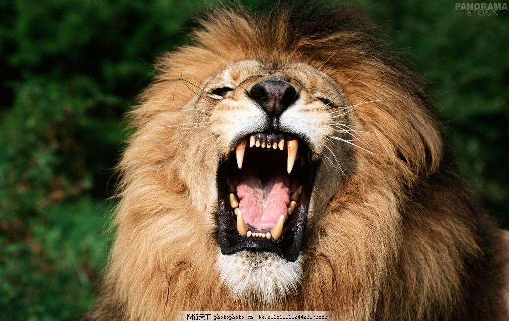 狮子 动物 张嘴的狮子 狮子头 动物系列 摄影