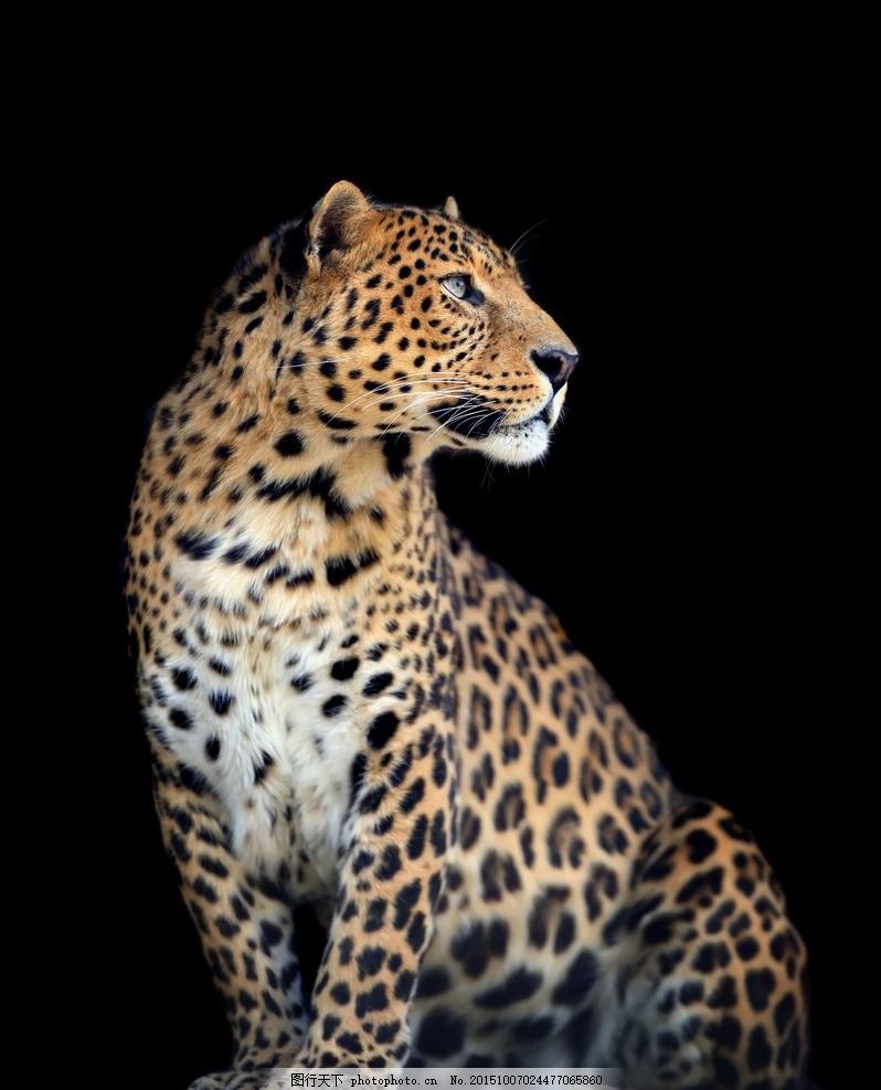 炫酷花豹 唯美 炫酷 豹子 花豹 金钱豹 野生 动物 凶猛 摄影 生物世界