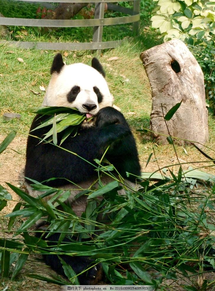 熊猫 竹叶 动物园 猫熊 动物 摄影 生物世界 其他生物 72dpi jpg