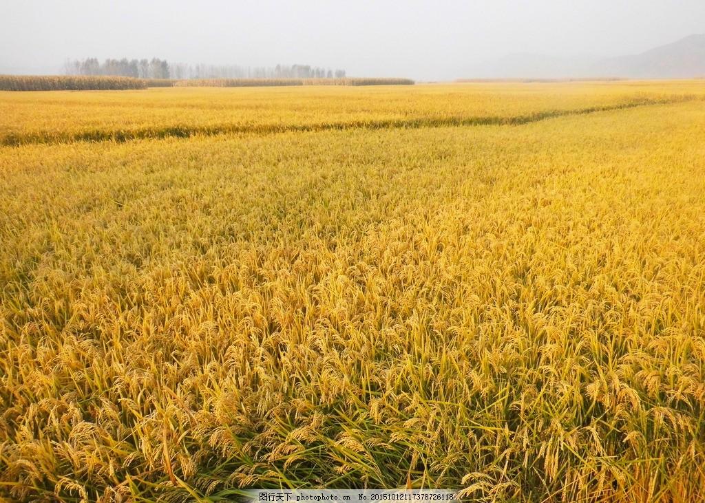 稻田 秋天 丰收 稻地 秋收 摄影 自然景观 田园风光 摄影 摄影 自然景