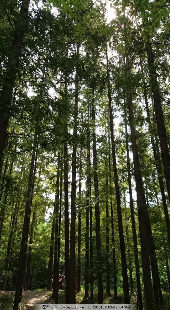 森林,杉树 杉树林 阳光 摄影-图行天下图库