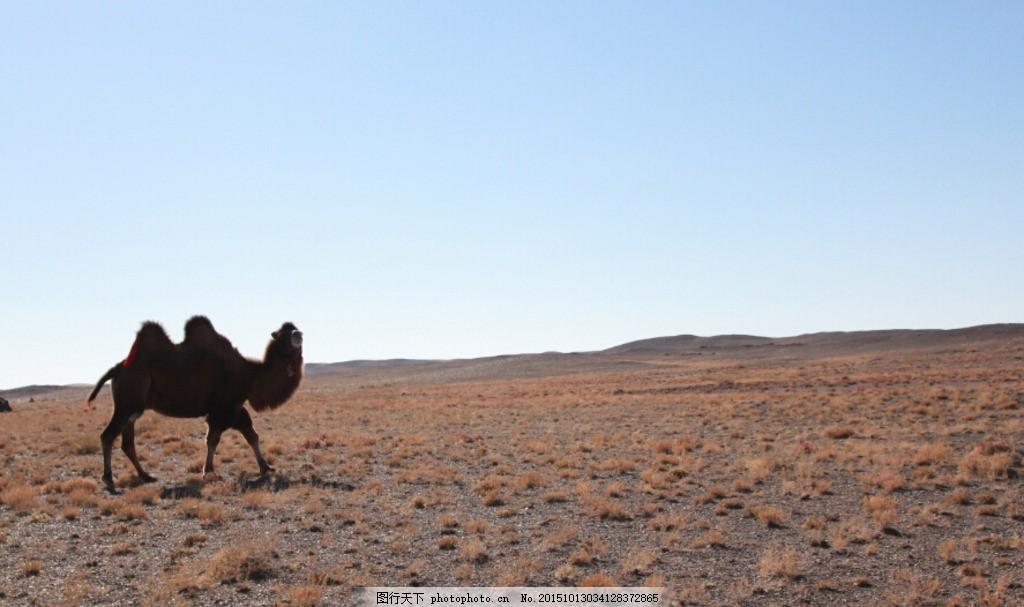骆驼 新疆 戈壁滩 秋天 干草 摄影 自然景观 自然风景 72dpi jpg