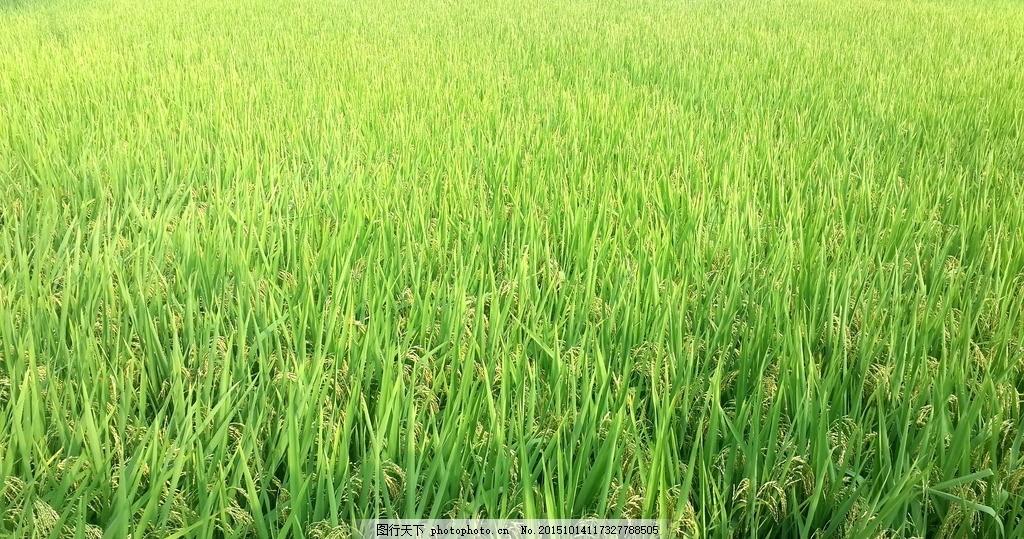 绿色稻田 风景 景色 摄影 农村 摄影 自然景观 田园风光 72dpi jpg