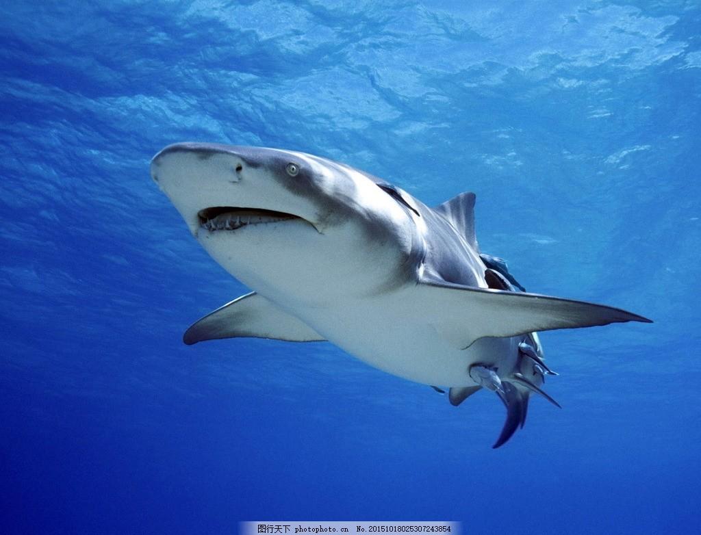 海中鲨鱼 蓝色海洋 哺乳动物 海洋动物 水生动物 动物素材 摄影