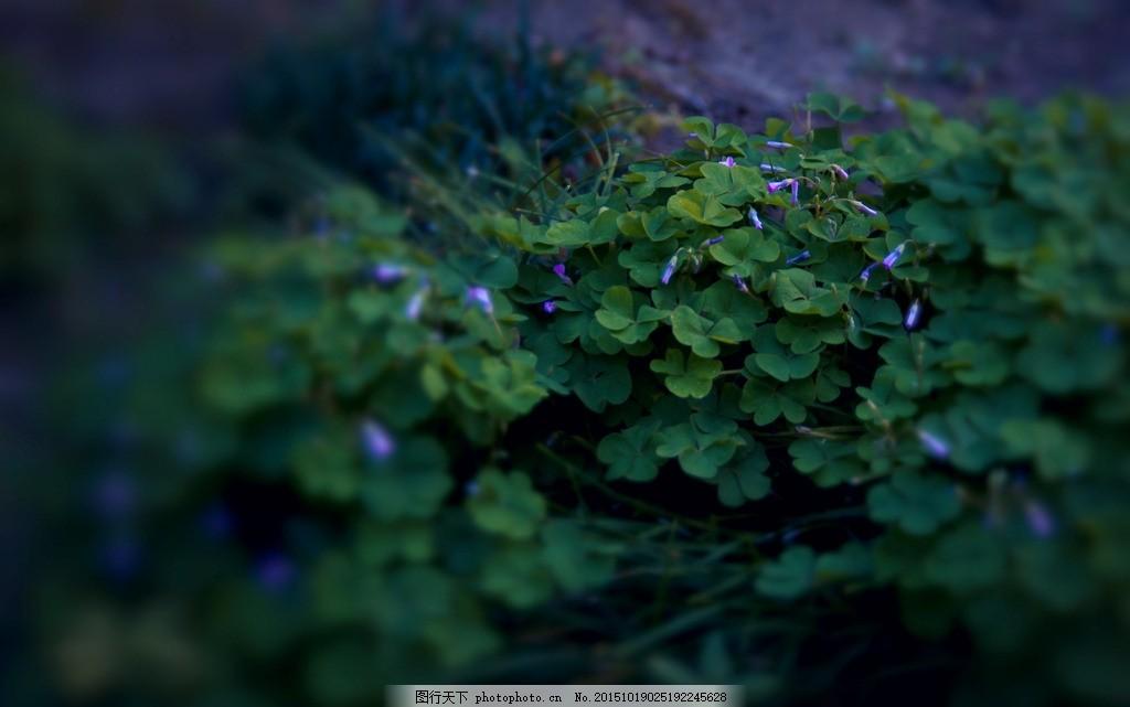 四叶草 四叶草壁纸 高清壁纸 单反拍摄 摄影