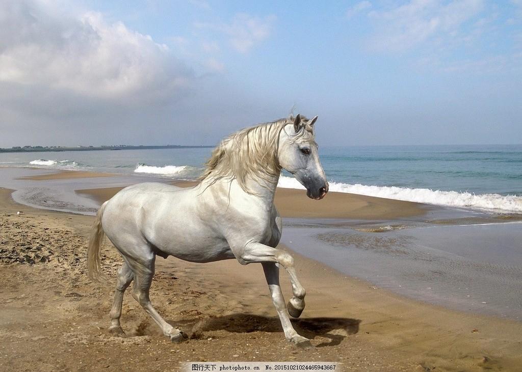 设计图库 生物世界 野生动物  海边的马 奔跑的马 水与马 白马 野马