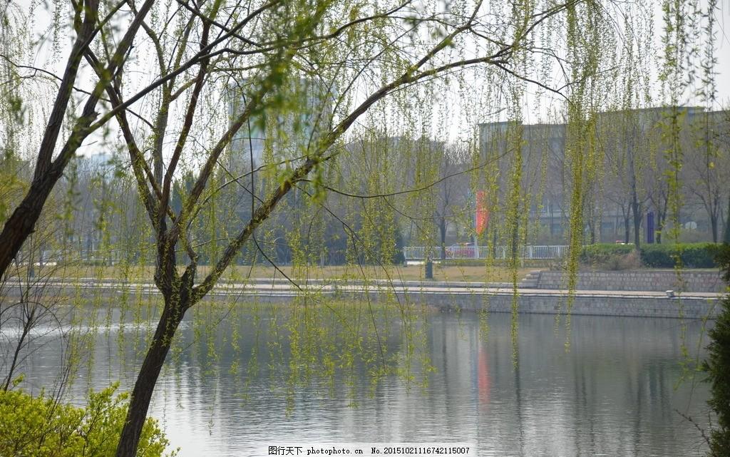 柳湖 柳树 湖水 清明 春天 摄影 自然景观 自然风景