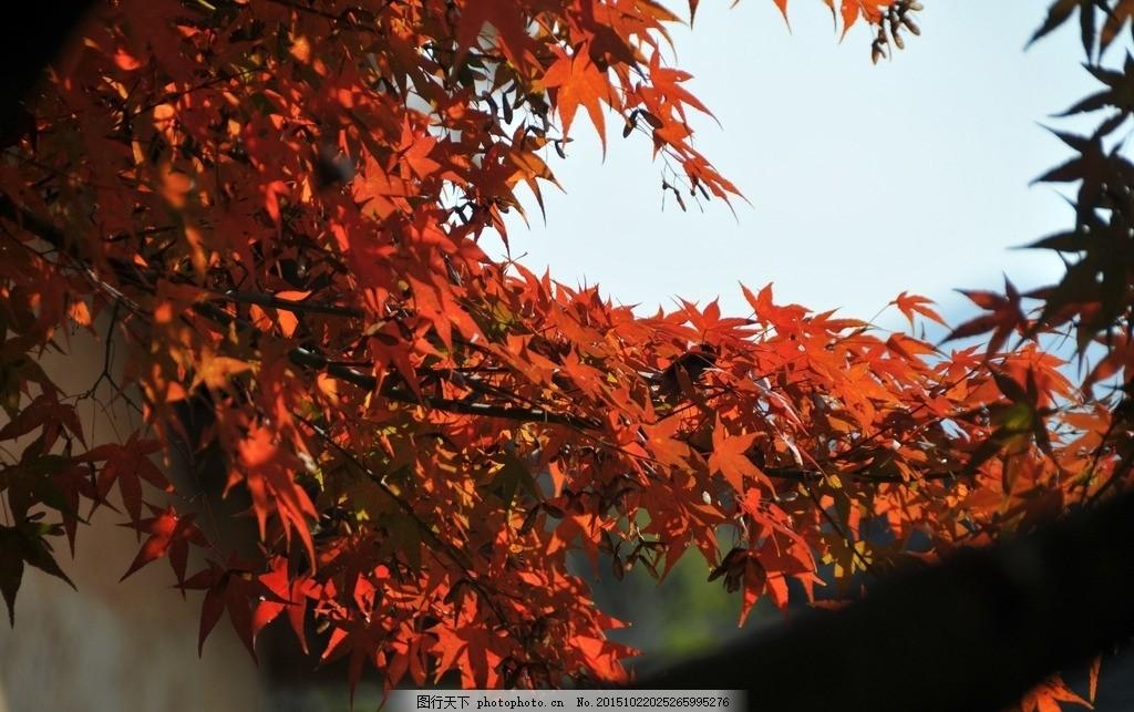 红枫 枫树 秋色 红色 枫叶 摄影 生物世界 树木树叶 300dpi jpg