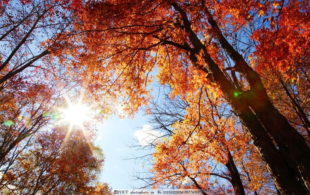 红叶 阳光灿烂 秋景 树木 秋叶 秋天的景色 摄影图片