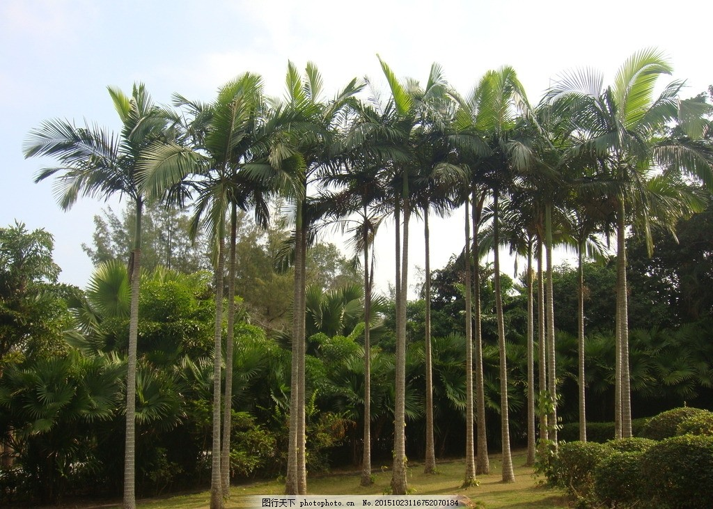 椰子树 海南 旅游 绿植 树木 植物 摄影 自然景观 自然风景 72dpi jpg