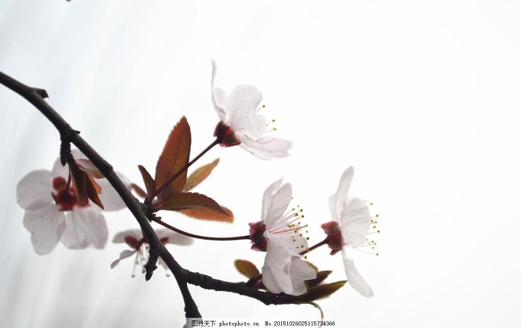 春日杏花 中国风 水墨风 梨花 春天 植物 花花 摄影