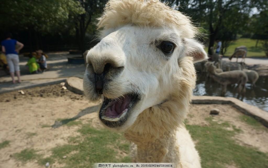 羊驼头 小羊驼 草泥马 可爱 动物园 等待食物 旅游景区 摄影