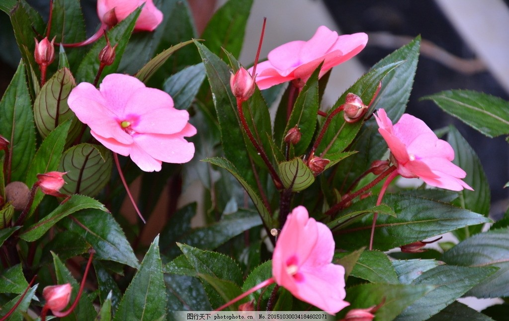 新几内亚凤仙花 盆栽 温室盆花 花坛 花卉 生物物种 植物 摄影
