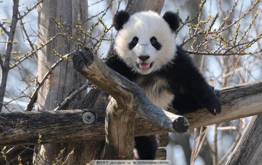 壁纸 大熊猫 动物 1024_646