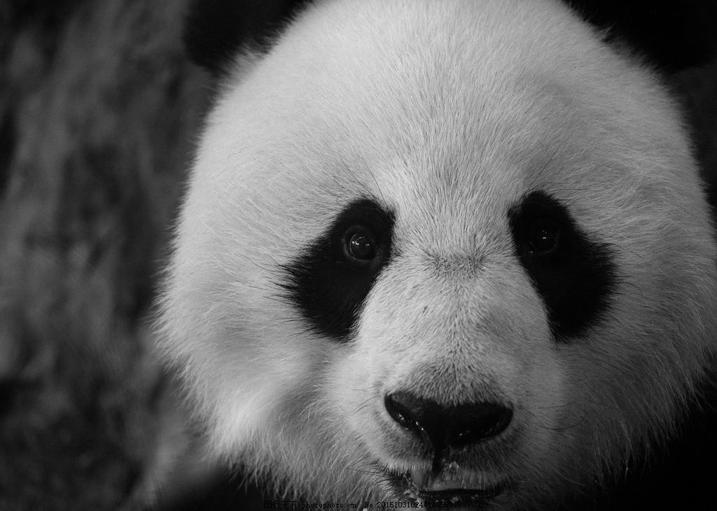 熊猫 国宝 小熊猫 动物图片素材 摄影