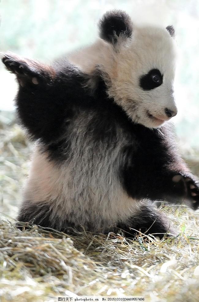 熊猫 国宝 小熊猫 熊 动物图片素材 摄影 生物世界 野生动物 300dpi