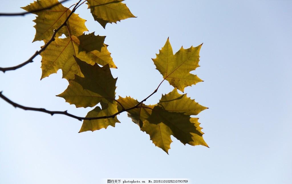 杨树叶 树枝 秋天 秋叶 花草 摄影