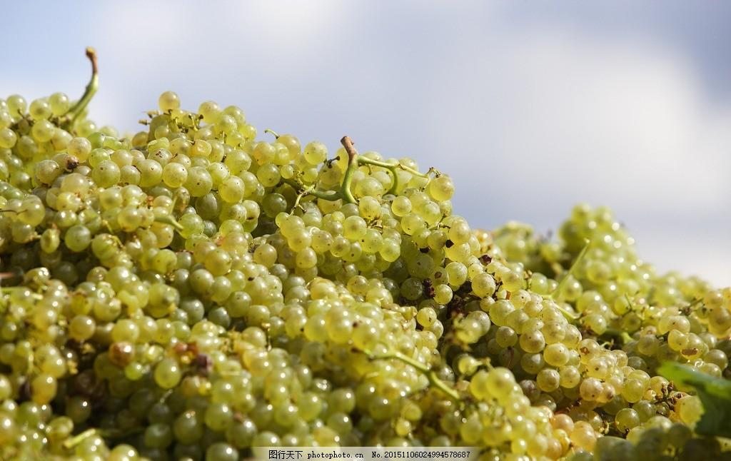 葡萄园 葡萄园风景 酒庄 葡萄种植 摄影 自然景观 田园风光 摄影 生物