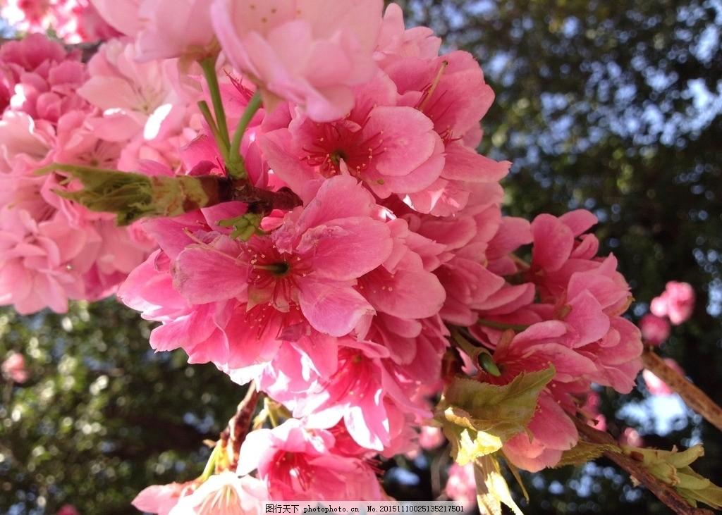 山樱花 红色樱花 粉色樱花 浪漫樱花 花朵 花卉 鲜花 樱花图片 风景