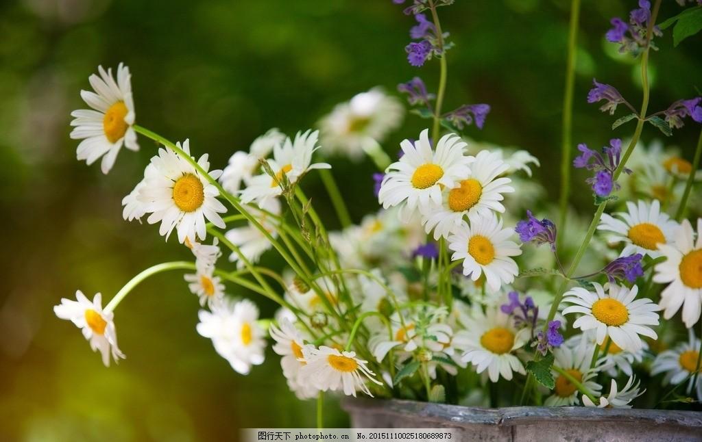 花草圖 小雛菊 花朵 美麗花朵 鮮花 自然風景 攝影