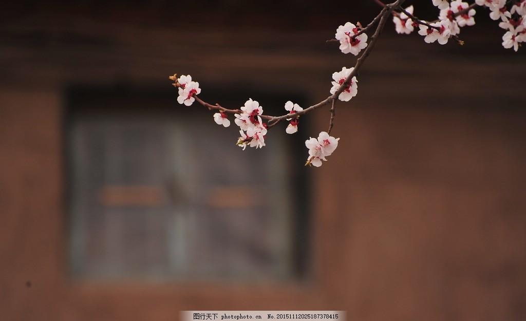 花 杏花 花卉 植物 自然风景 摄影 生物世界 花草 72dpi jpg