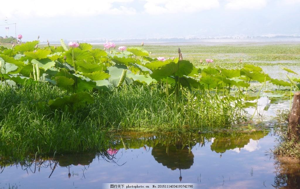 洱海双廊 洱海湿地 蓝天 白云 荷花 倒影 摄影 旅游摄影 自然风景 180