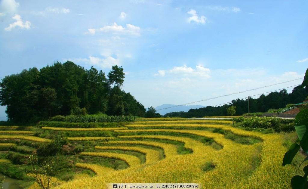金色 稻田 丰收 乡村 梯田 横山 摄影 自然景观 自然风景 72dpi jpg