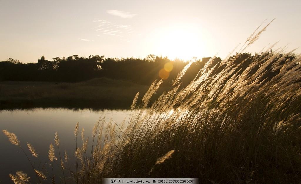 芦苇荡 逆光 夕阳 夕阳西下 阳光 落日 摄影 自然景观 自然风景