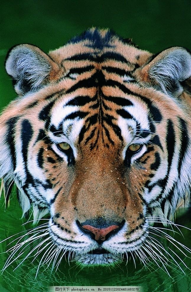 壁纸 动物 虎 老虎 桌面 647_987 竖版 竖屏 手机