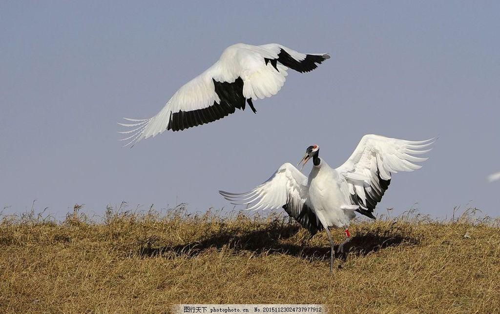 仙鹤 丹顶鹤 鹤 戏水 河水 自然景观 动物世界 鹤舞翩跹 摄影 生物