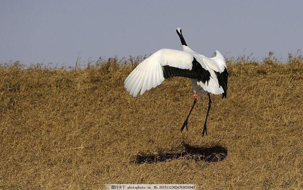 仙鹤 丹顶鹤 戏水 河水 自然景观 动物世界 鹤舞翩跹 摄影