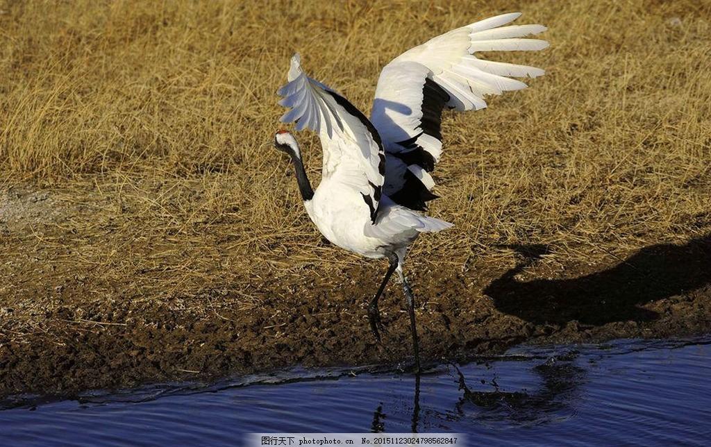 仙鹤 丹顶鹤 鹤 戏水 河水 自然景观 动物世界 摄影 生物世界 鸟类