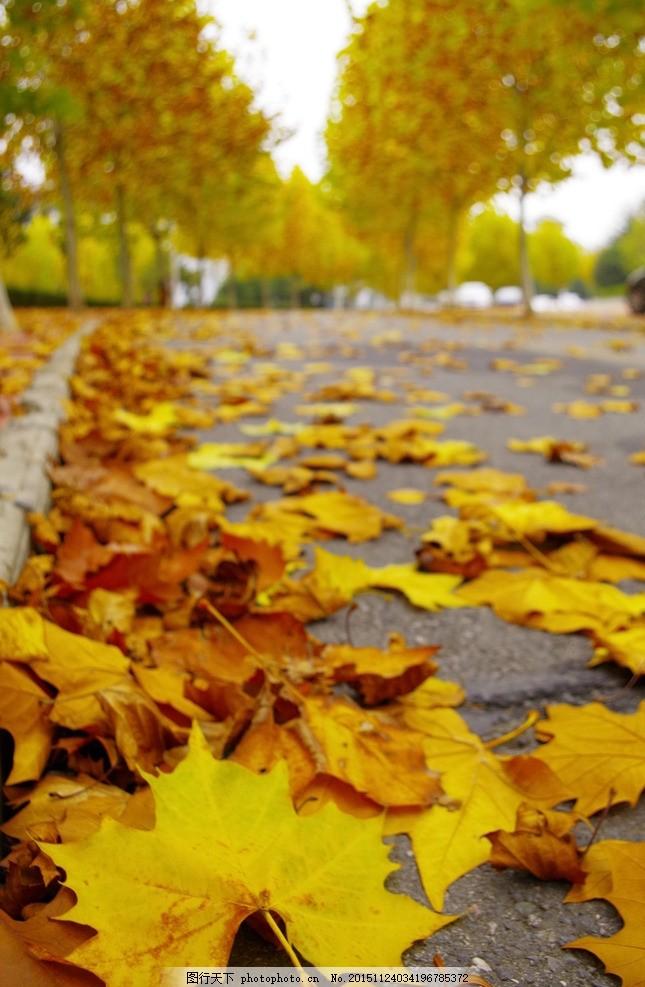 梧桐叶 秋天 梧桐林 落叶 金色 梧桐大道 摄影 自然景观 自然风景 300