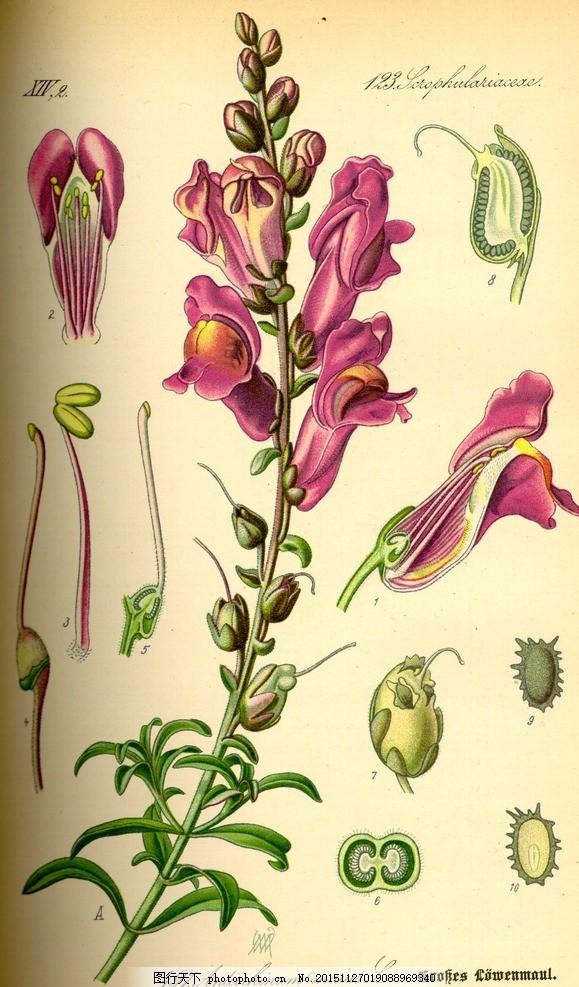 种子植物 植物 花朵 叶子 花草 绿色植物 绿叶 花草图册 手绘植物