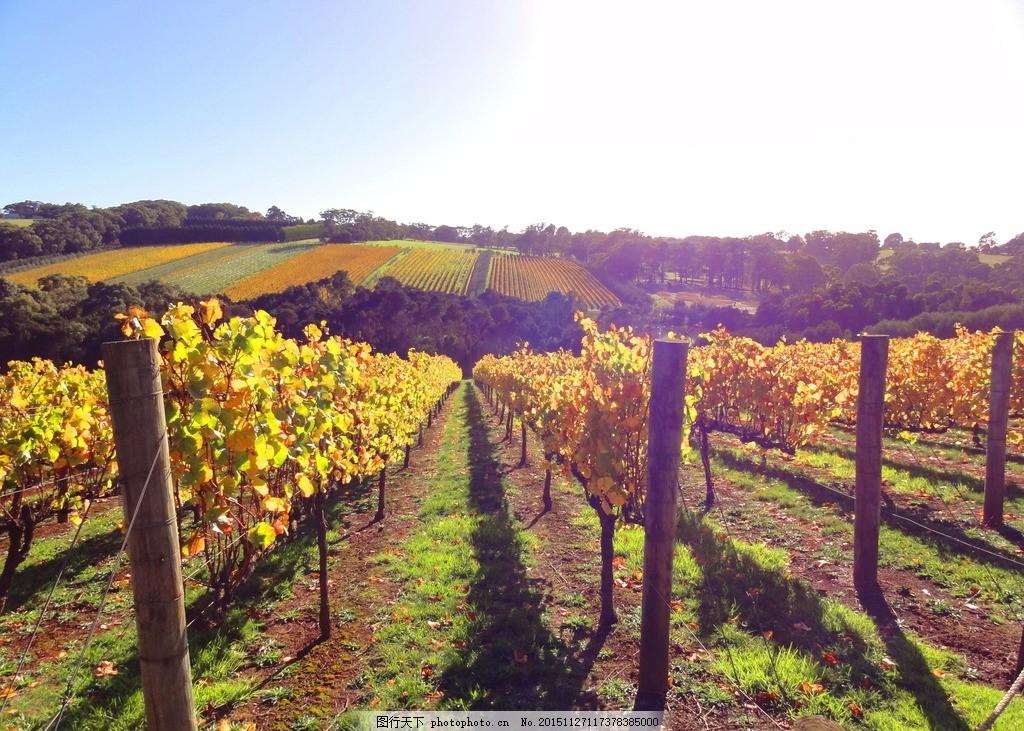 庄园 葡萄庄园 田园 木桩 阳光 逆光 枯黄 葡萄叶 唯美 秋天风景 果园