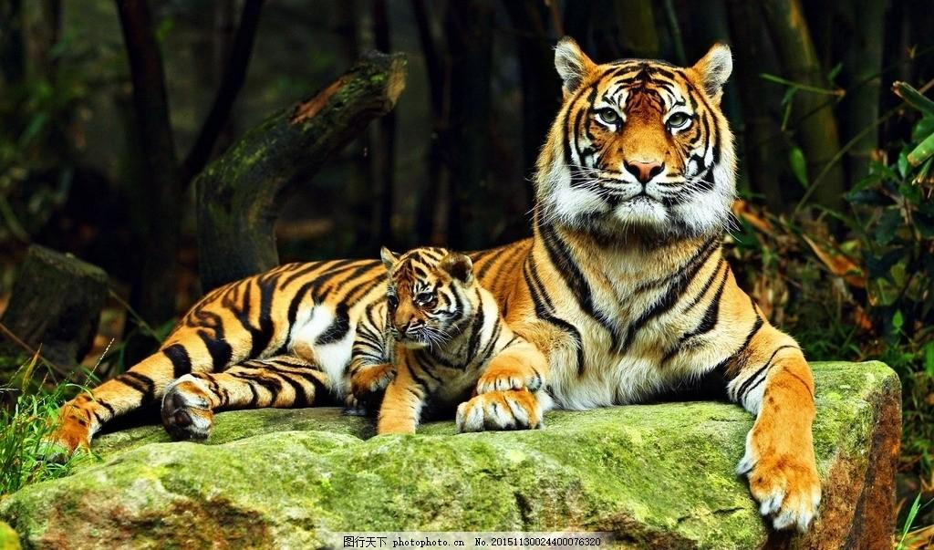 老虎照片 老虎头 老虎彩色 凶猛老虎 老虎 摄影 生物世界 野生动物 72