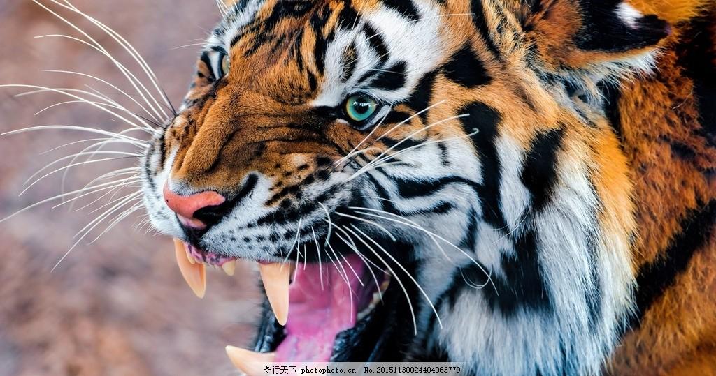 老虎照片 老虎头 老虎彩色 凶猛老虎 动物 摄影