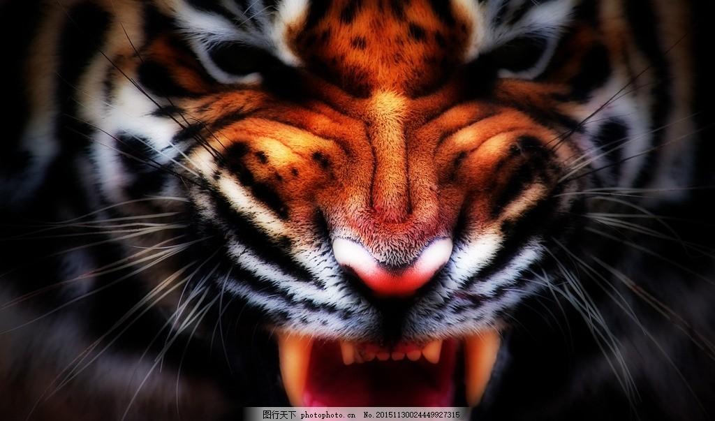 老虎照片 老虎头 老虎彩色 凶猛老虎 老虎 动物 设计 生物世界 野生