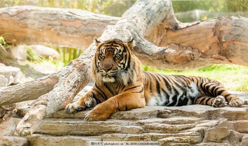 老虎 老虎照片 老虎头 老虎彩色 凶猛老虎 动物 摄影