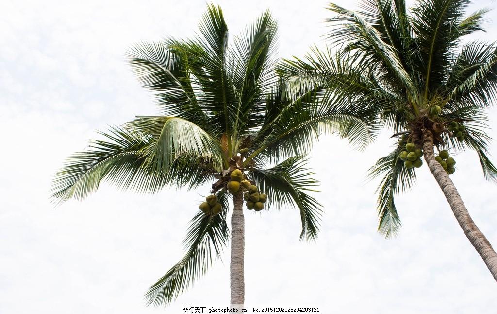 椰子树 椰树 椰子 热带植物 绿叶 海南 旅游摄影 摄影 生物世界 树木