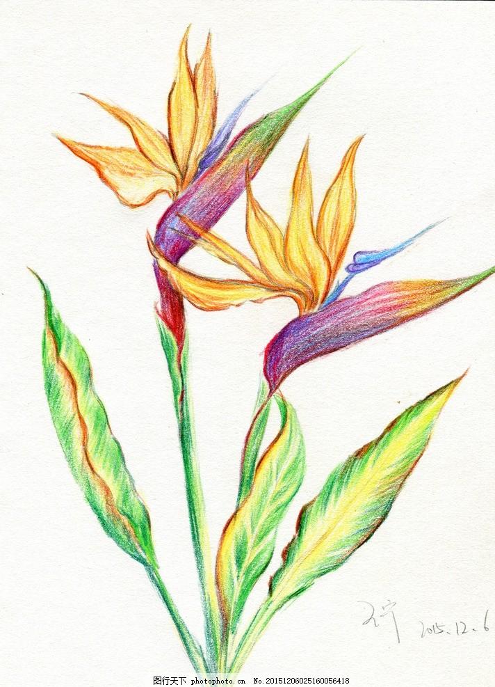 彩铅笔 手绘 花朵 天堂鸟