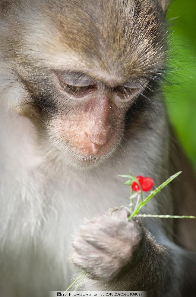 中国猴子种类_猴子 中国 动物 猴 灵长 生物 花朵 花 摄影 生物世界 野生动物 300