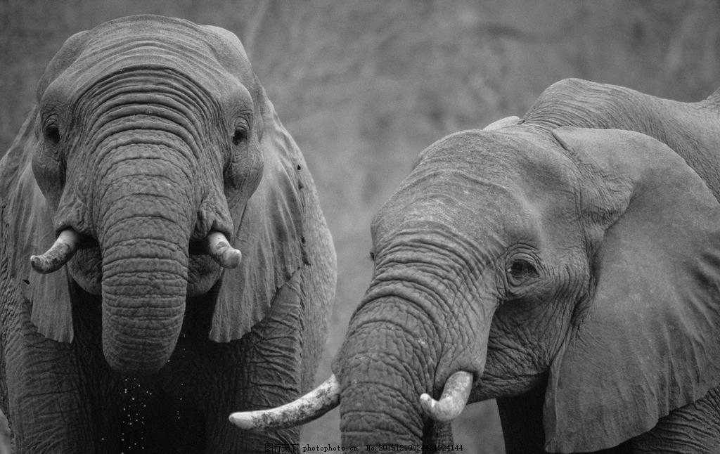 大象 野象 泰国大象 泰国动物 泰国吉祥物 摄影