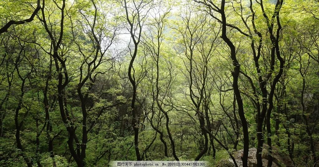树林 树枝 树丛 森林 大叔 树梢 大自然 风景 摄影