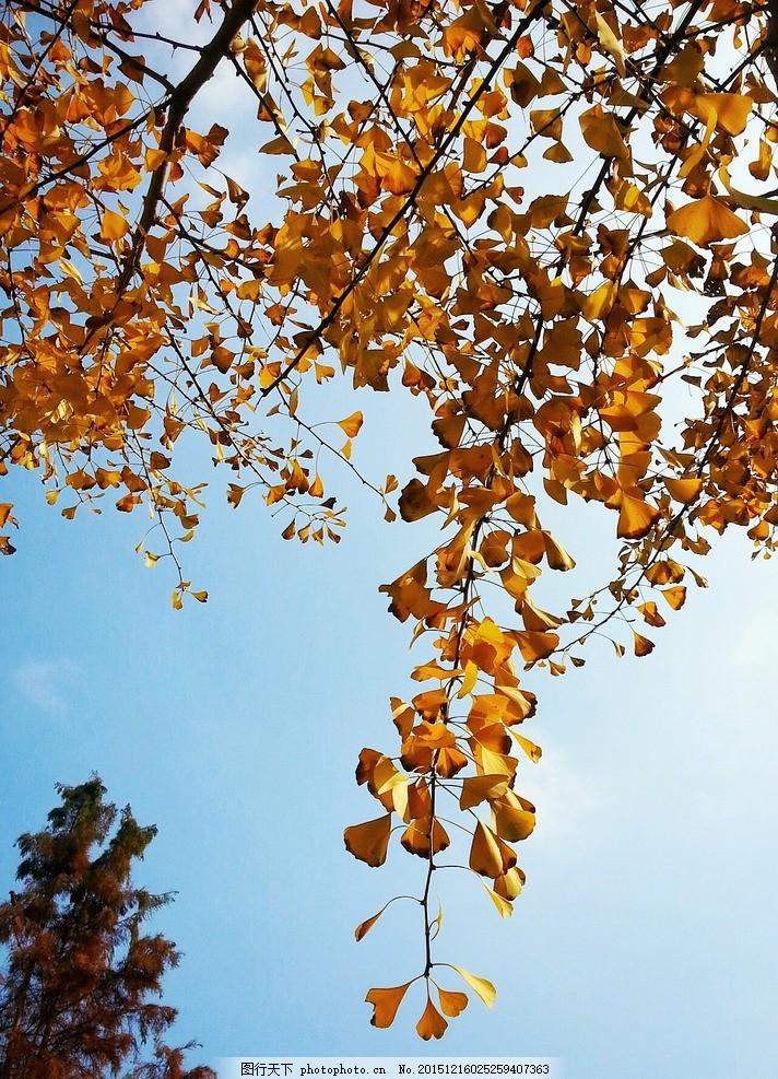金色银杏树 金色 银杏叶 落叶 秋天 暖色 金黄 太阳 色彩饱和 摄影