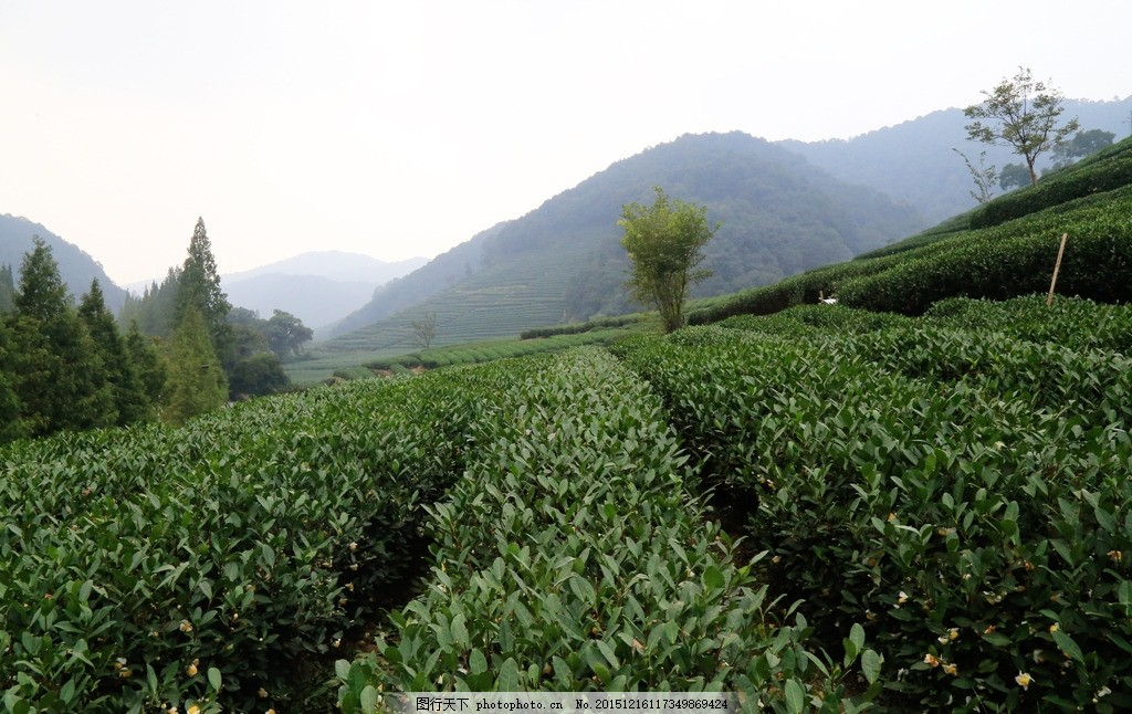 茶园 茶山风景 茶园风景 茶园风光 茶园背景 茶树 背景 绿色 风景