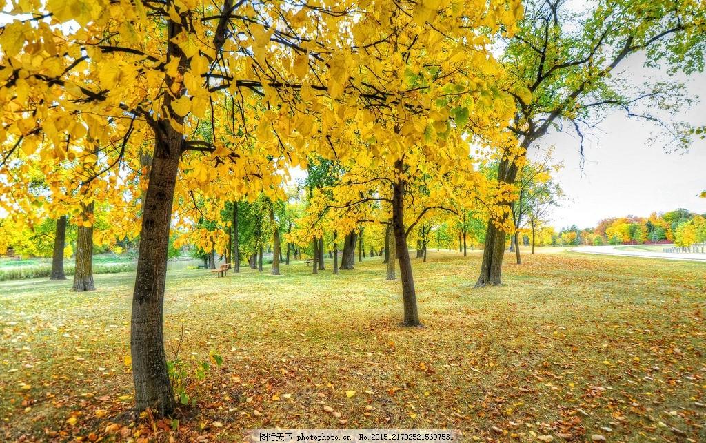 树林 秋天 秋叶 树叶 树 银杏林 黄叶 银杏树 高清图片 自然建筑风景