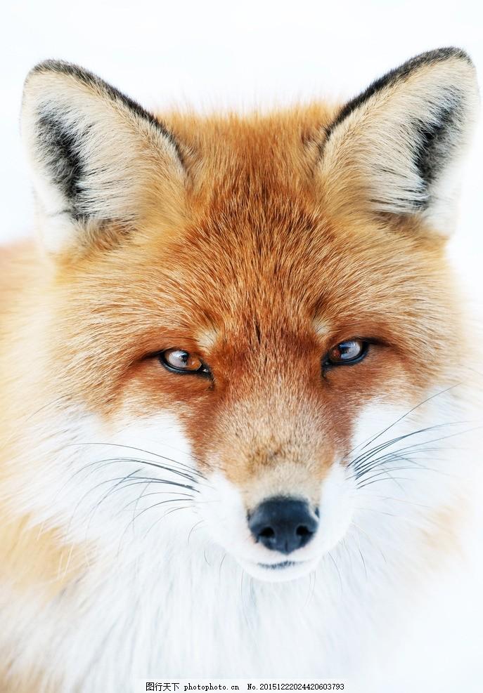 可爱狐狸 唯美 炫酷 动物 野生 生物 红狐 摄影