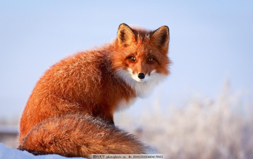 唯美狐狸 唯美 动物 生物 可爱 狐狸 野生 雪狐 摄影 生物世界 野生