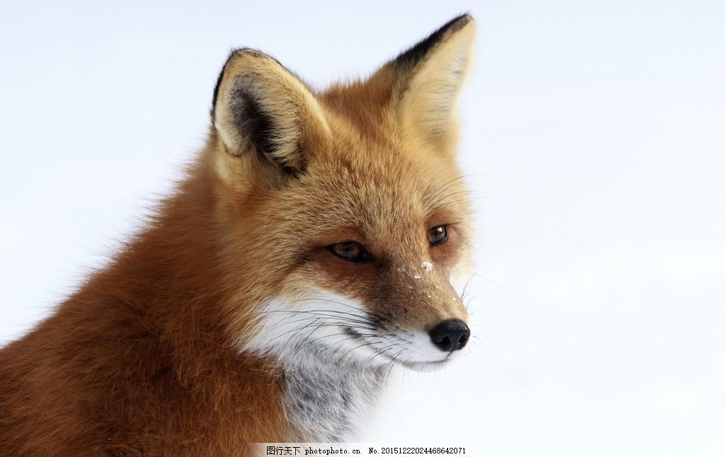 可爱狐狸 唯美 炫酷 可爱 狐狸 动物 野生 生物 红狐 摄影 生物世界